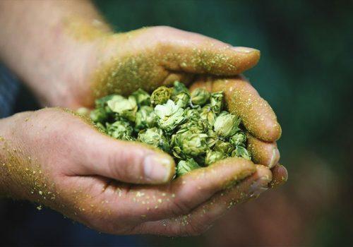 Hopfenbonitierung mit der Paulaner Brauerei