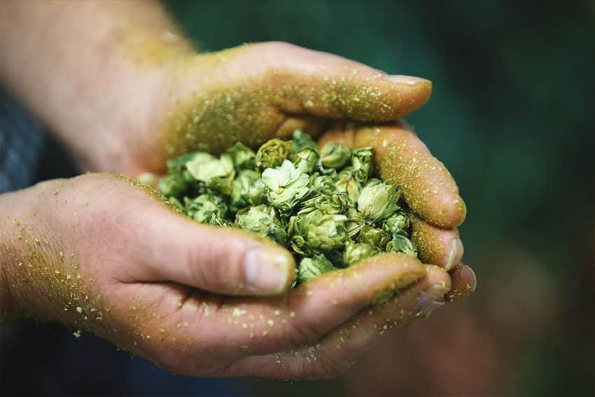Mit der Paulaner Brauerei zur Hopfenbonitierung in die Hallertau • Bierspecial 2017